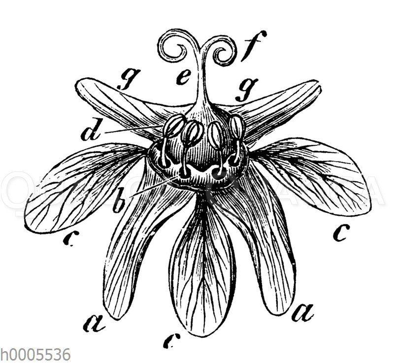 Spitzahorn: Blüte