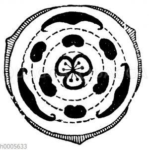 Blütendiagramm: Narzissengewächse