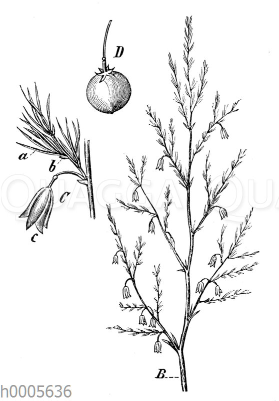 Spargel: Stengel und Blüten