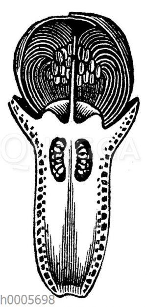 Molukkischer Gewürznelkenbaum: Längsschnitt der Knospe