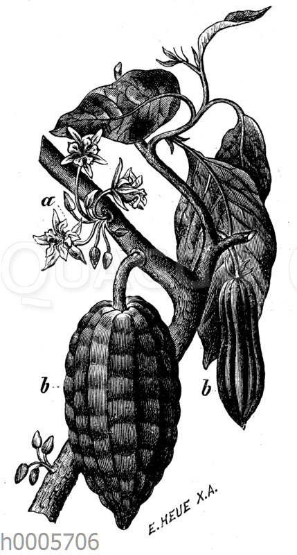 Kakaobaum