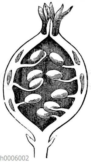 Stachelbeere: Längsschnitt durch die Frucht