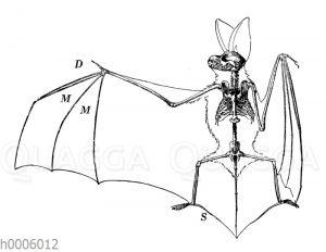 Großohrige Fledermaus: Skelett