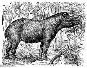 Amerikanischer Tapir