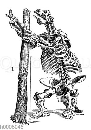 Riesenfaultier: Skelett