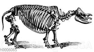 Nashorn: Skelett