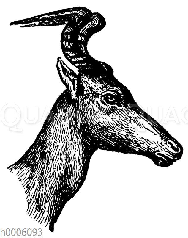 Ochsenantilope