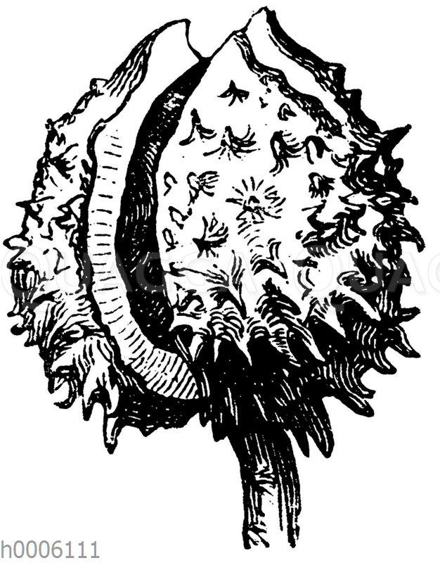 Rosskastanie: Frucht