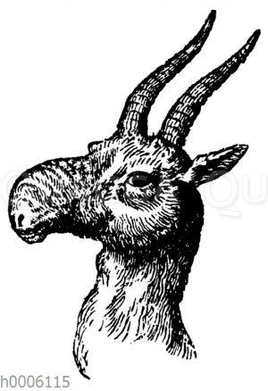 Steppenantilope