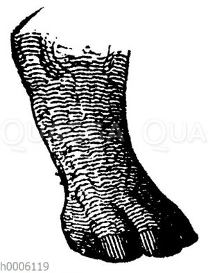 Nashorn: Hinterfuß