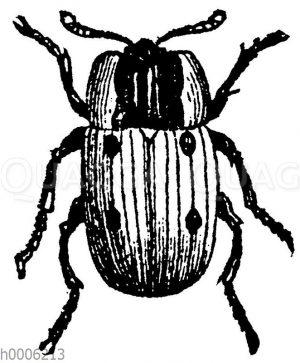 Vierpunktiger Aaskäfer