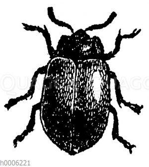 Goldhahnkäfer