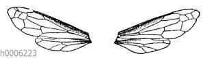 Hornisse: Flügel