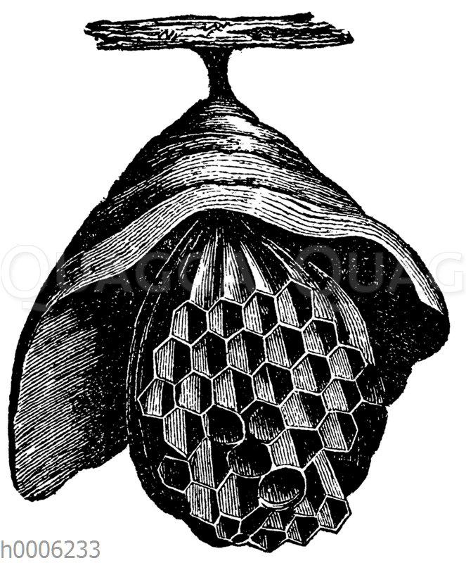 Hornisse: Beginn eines Nestes