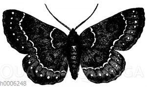 Schmetterlingsspanner