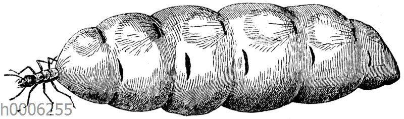 Termitenweibchen vor dem Eierlegen