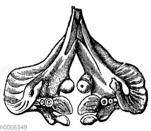 Karpfen: Schlundknochen