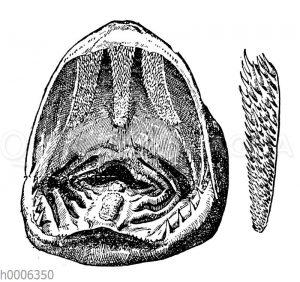 Hecht: Geöffnetes Maul und Schlundknochen