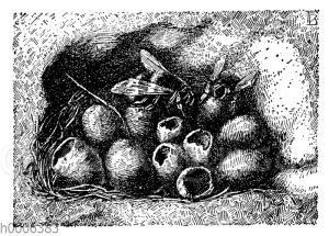 Erdhummel: Nest