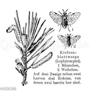 Kiefernblattwespe