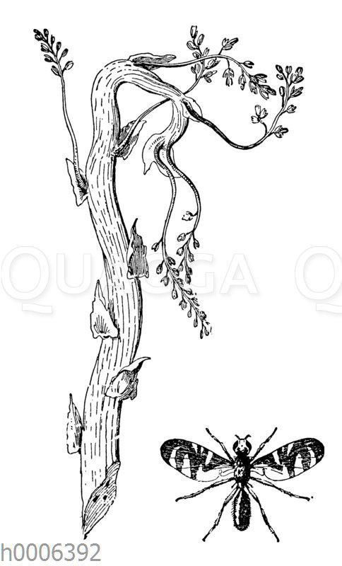 Spargelfliege und ein durch ihre Maden verkrüppelter Spargelstengel