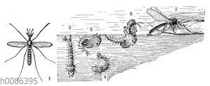 Stechmücke: Männchen und Entwicklung