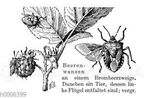 Beerenwanze