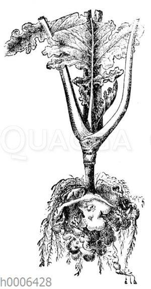 Kranke Kohlpflanze (Kropf)