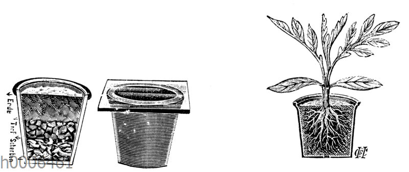 Tomate: Aussaattöpfe und junge Pflanze im Topf