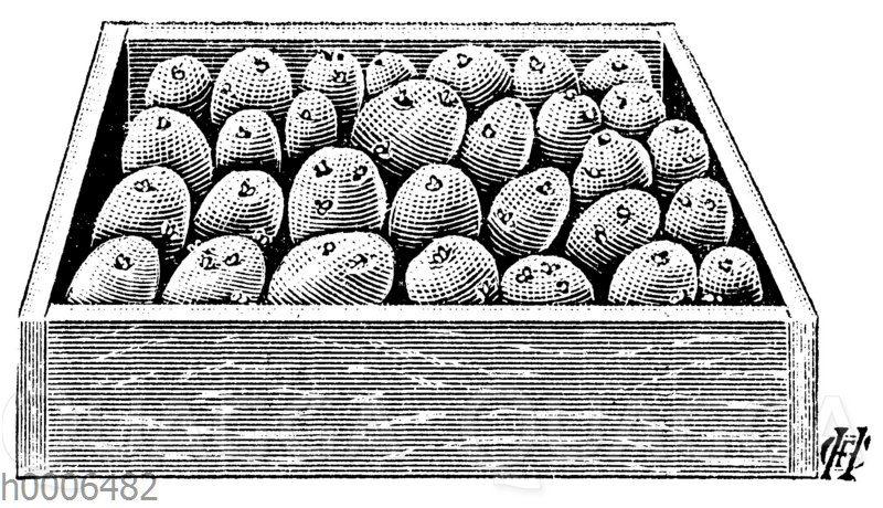 Kartoffel: Austreiben lassen