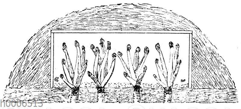 Meerkohl oder Seekohl