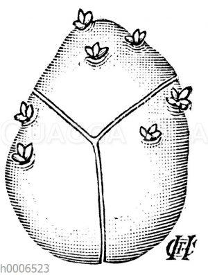 Kartoffel: Teilung einer vorgekeimten Kartoffel