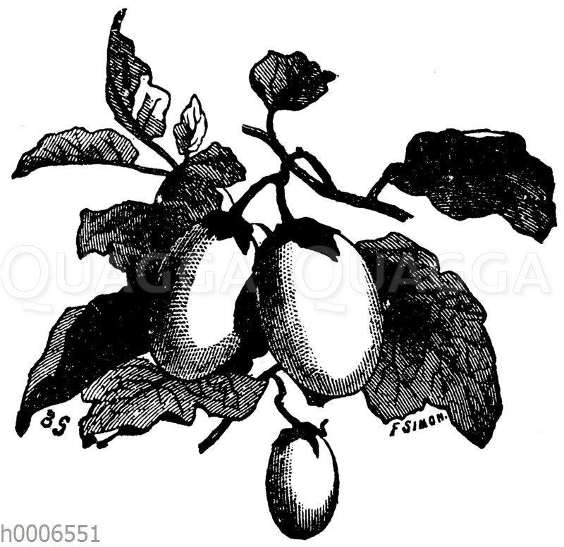 Runde weiße Eierfrucht