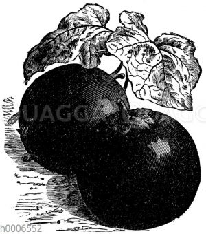 Schwarze riesenfrüchtige Eierfrucht von Peking