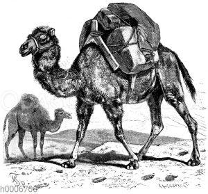 Vordergrund: Kamel