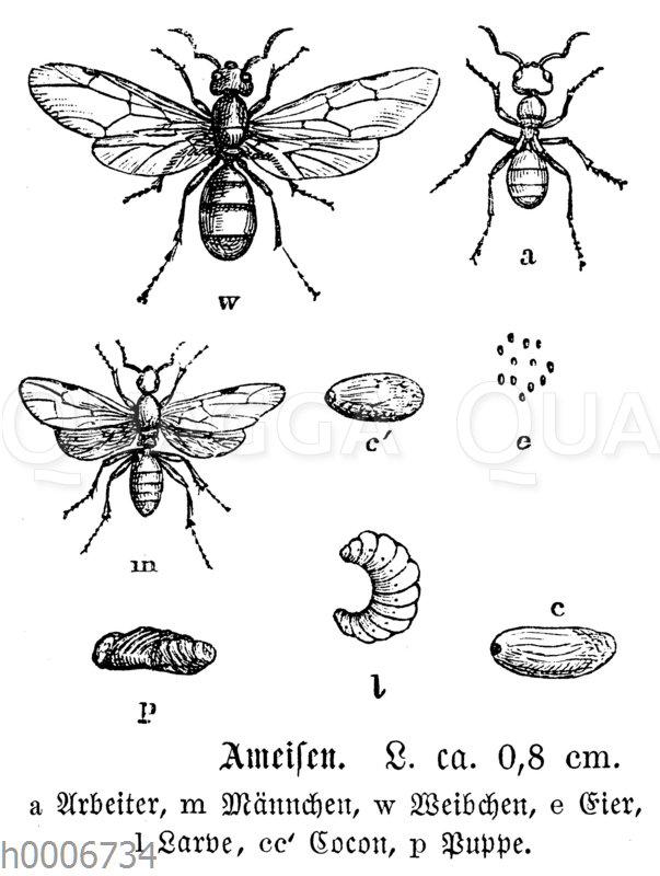 Ameisen: a Arbeiter m Männchen