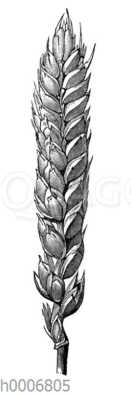 Weizen: Kolbenweizen