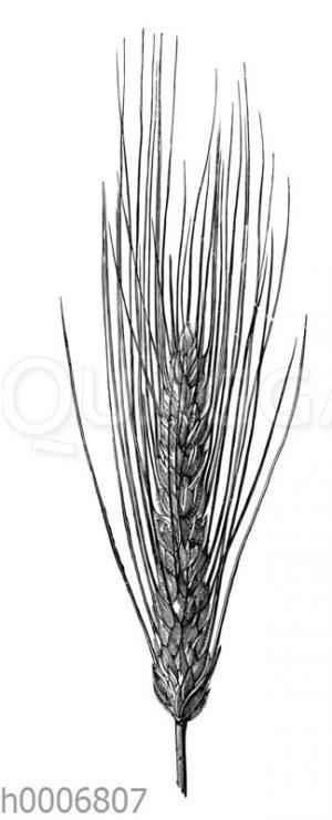 Weizen: Bartweizen