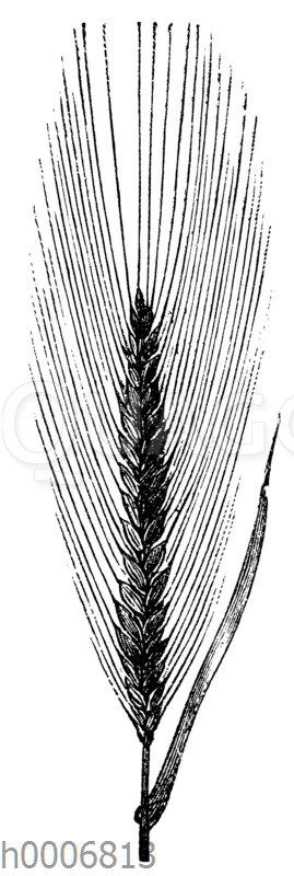 Weizen: Sommerweizen