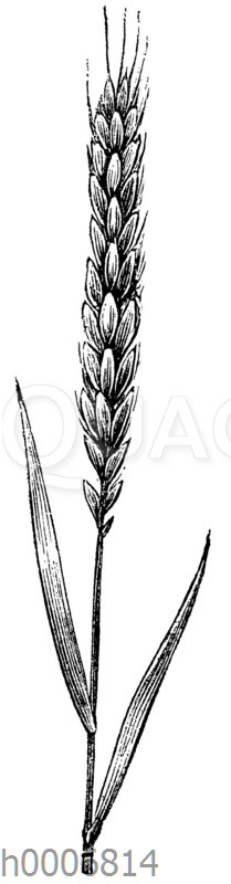 Weizen: Winterweizen