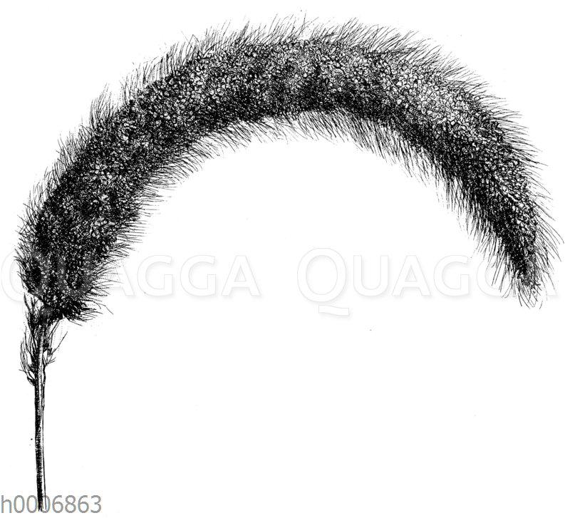 Große langborstige Kolbenhirse