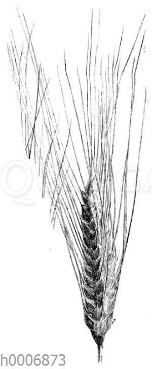 Roter samtartiger englischer Weizen
