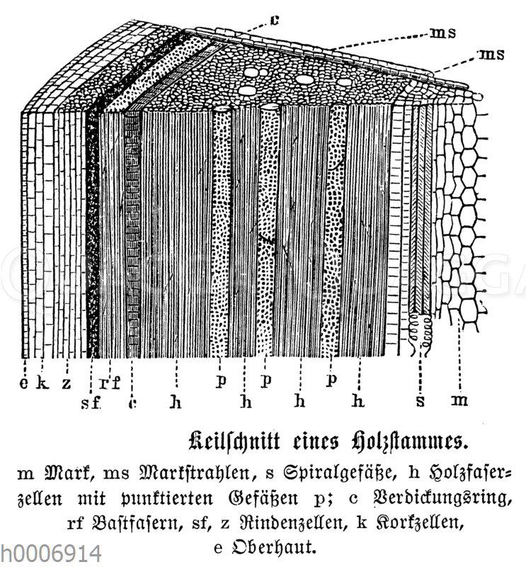 Holzstamm: Keilschnitt