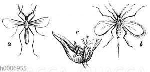 Weizenschnake
