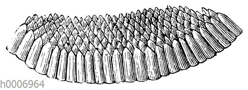 Eierscheibe der Steckmücke