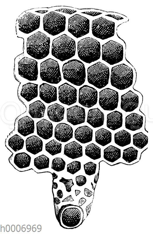Honigbiene: Zelle der Arbeitsbiene