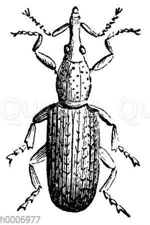 Kornwurmkäfer