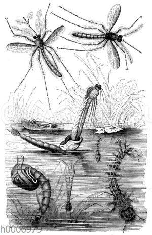 Steckmücke: Schlüpfen der Wasserlarven aus den Eiern