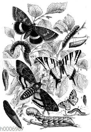 Schmetterlinge mit Raupen und Puppen: Blaues Ordensband