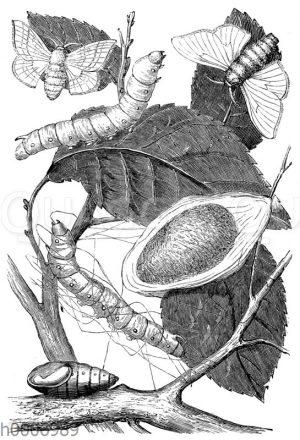 Maulbeerspinner: ausgewachsene Tiere